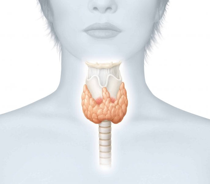 Where is my Thyroid Gland? What does it do for me?